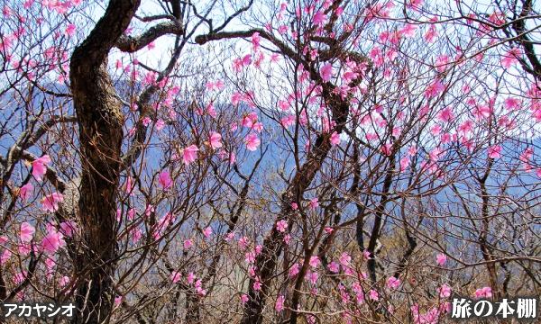 赤城山 アカヤシオ