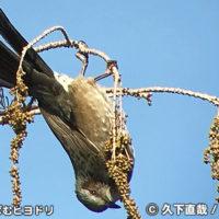 木の実をついばむヒヨドリ