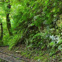 紅葉の芦生原生林を歩く