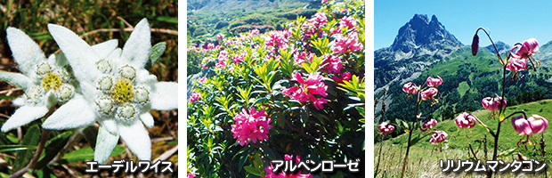 ピレネーの花