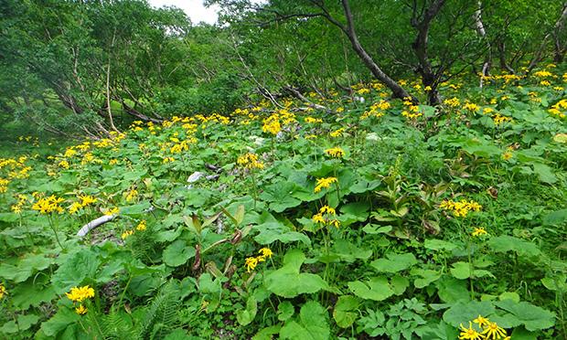 種類の豊富な高山植物