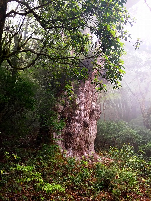 宮之浦岳と縄文杉と白谷雲水峡